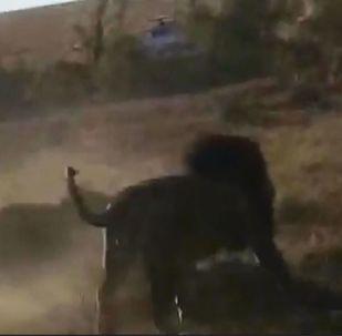 Testemunha conseguiu captar uma batalha feroz entre três leões por território
