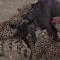 Guepardos famintos devoram gnu