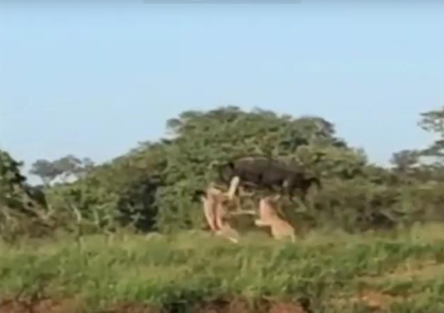 Gnu escapa de leoas