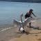 Cisne zangado