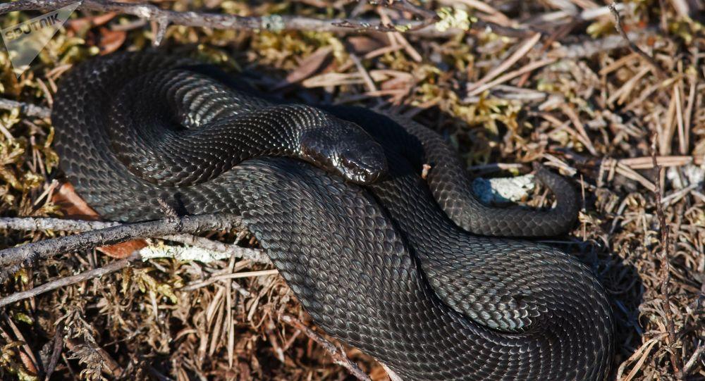 Cobra da espécie Vipera berus (imagem referencial)