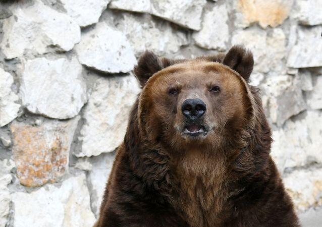 Urso pardo (imagem referencial)