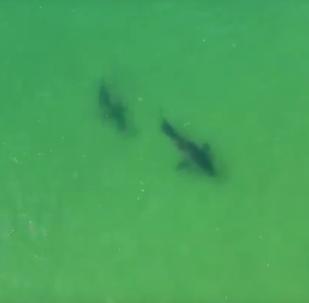 Interação entre tubarões