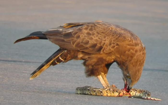Águia dilacera vísceras de cobra venenosa ainda viva