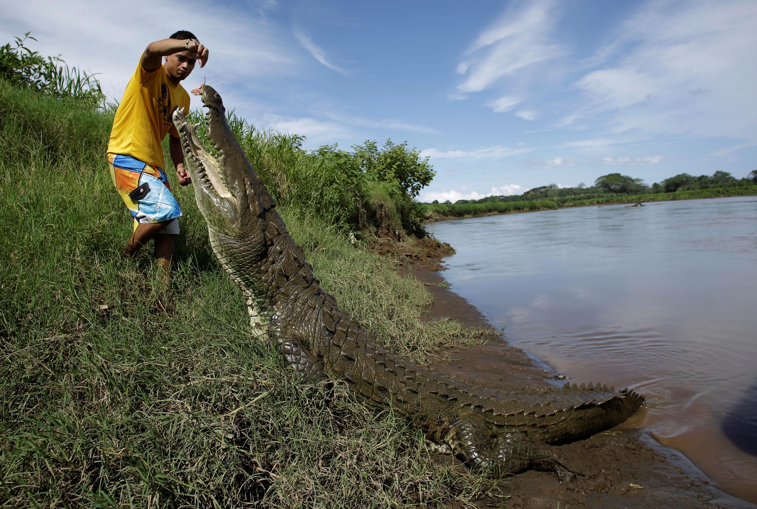 Juan Cerdas alimentando crocodilo enorme no rio Tárcoles
