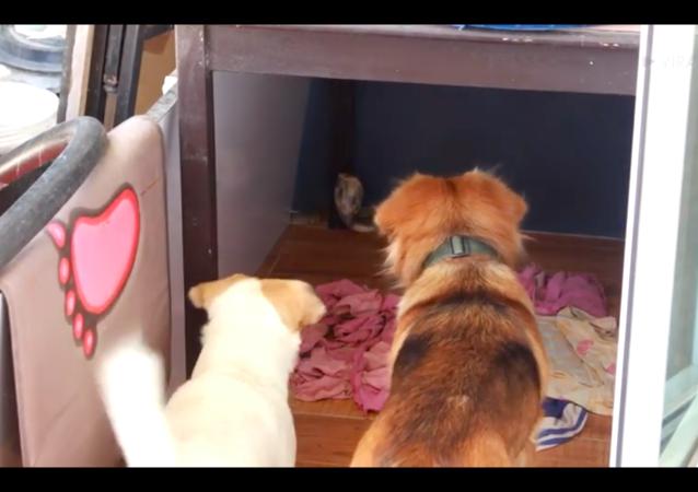 Cães corajosos impedem que cobra invada casa na Tailândia