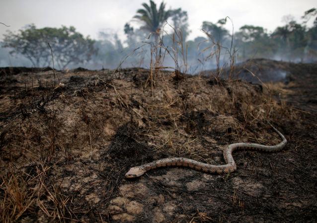 Cobra em um trecho da selva amazônica após incêndio em Porto Velho, Rondônia, 24 de agosto de 2019