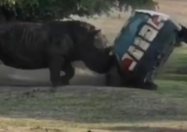 Rinoceronte em fúria