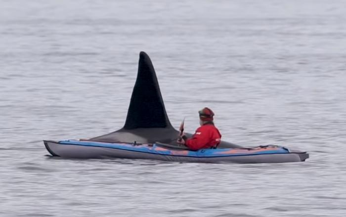 Orca emerge da água inesperadamente ao lado de caiaque