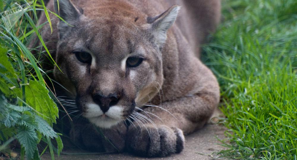 Puma preparado para atacar (imagem referencial)