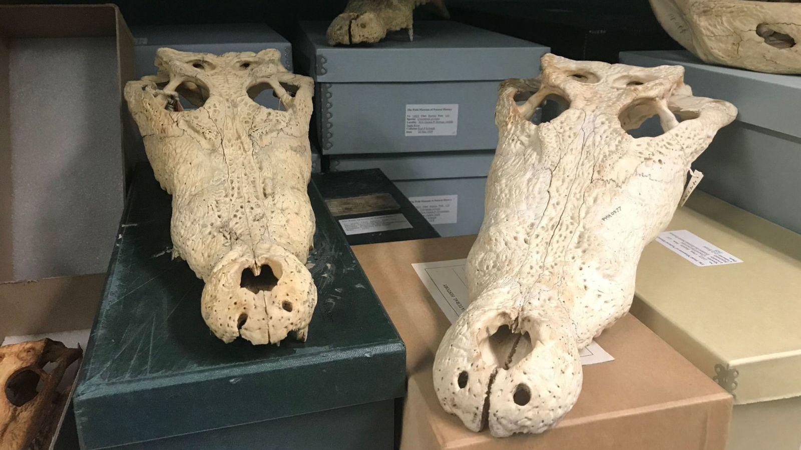Crânios de crocodilo do Museu de Campo de História Natural de Chicago