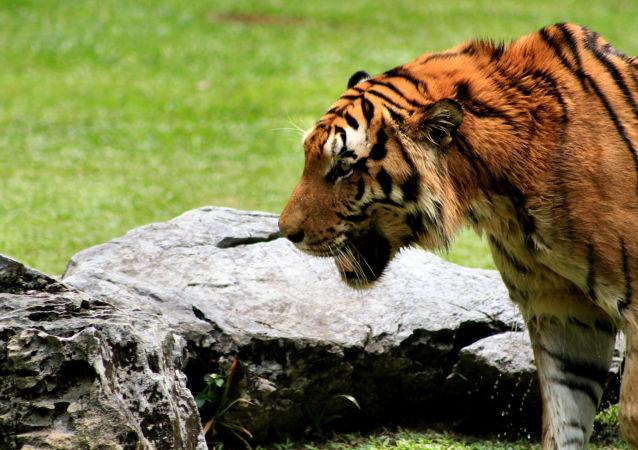 Tigre em parque na Malásia