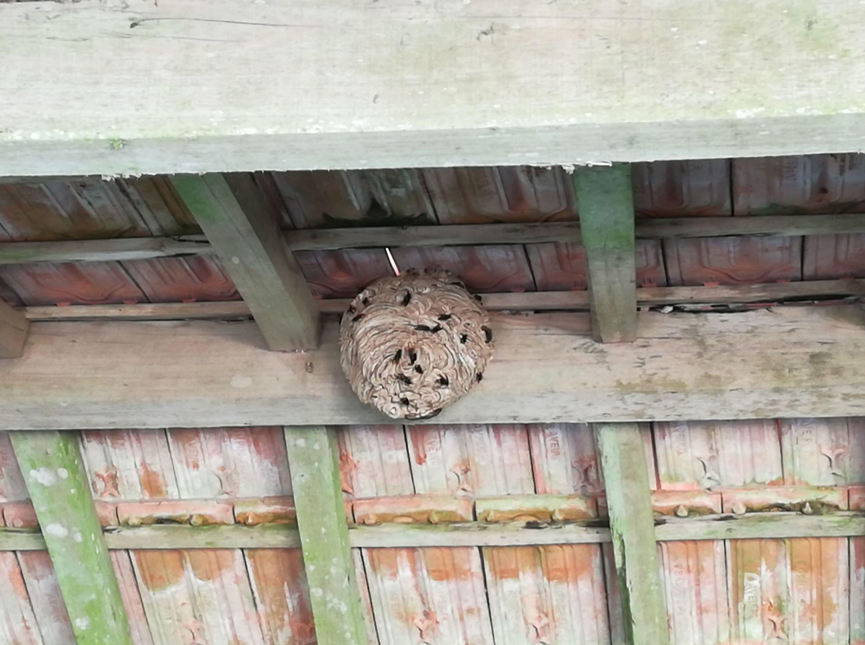 Ninho de vespas no teto de um imóvel