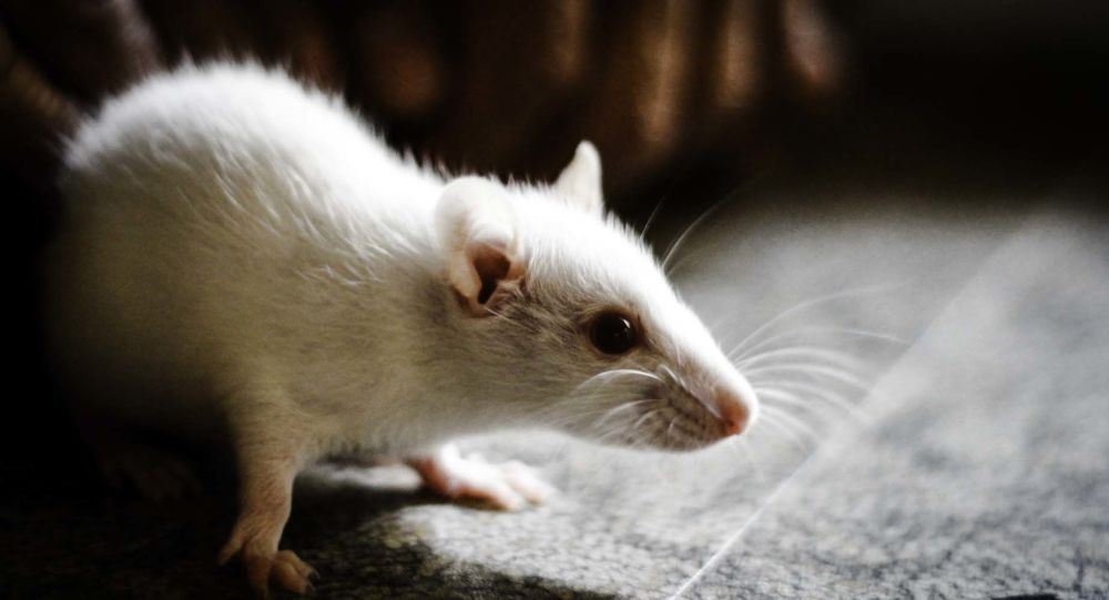 Rato invasor