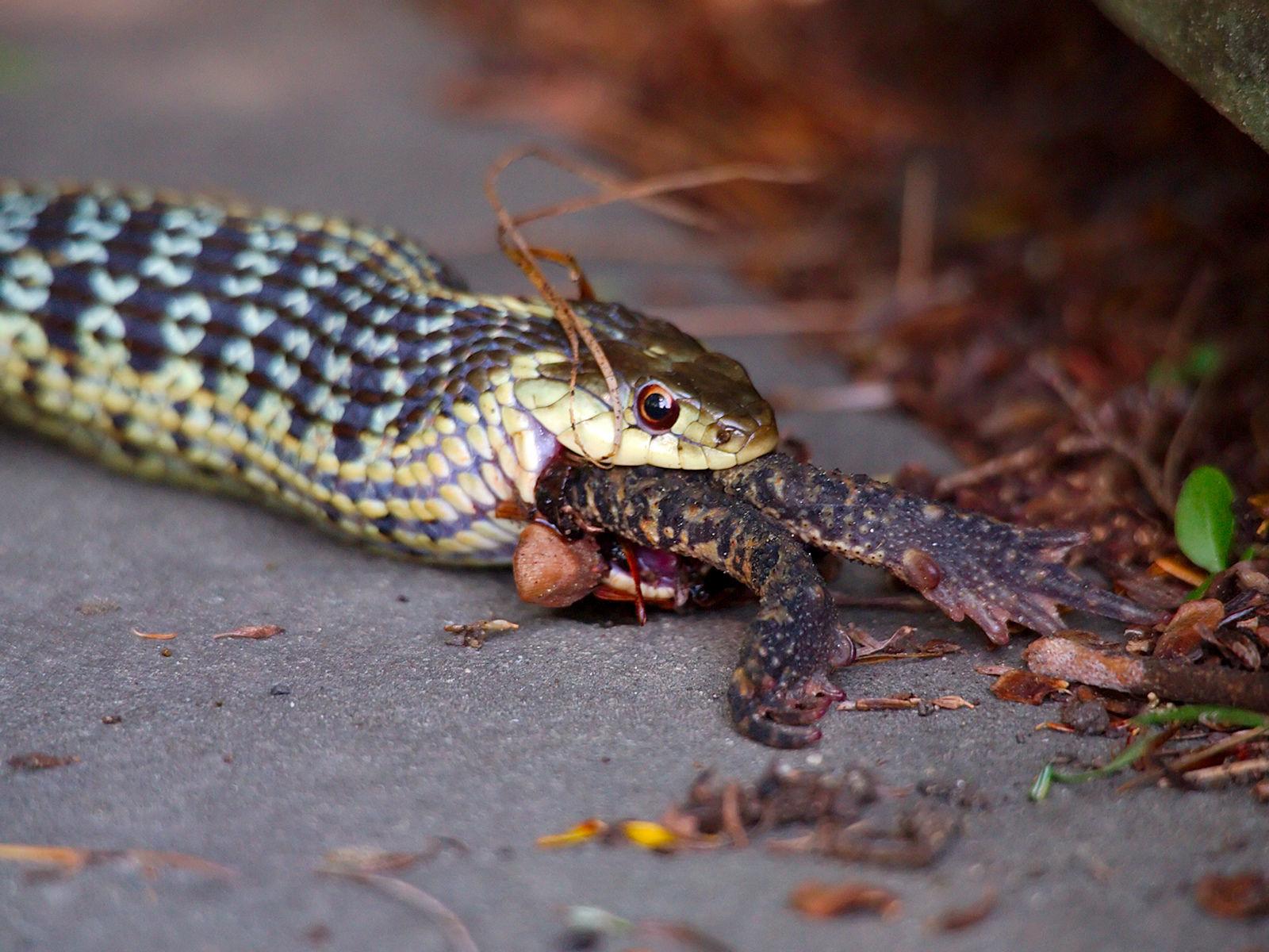 Cobra devorando sapo