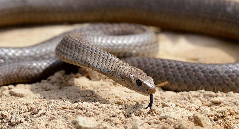 Cobra-marrom-oriental