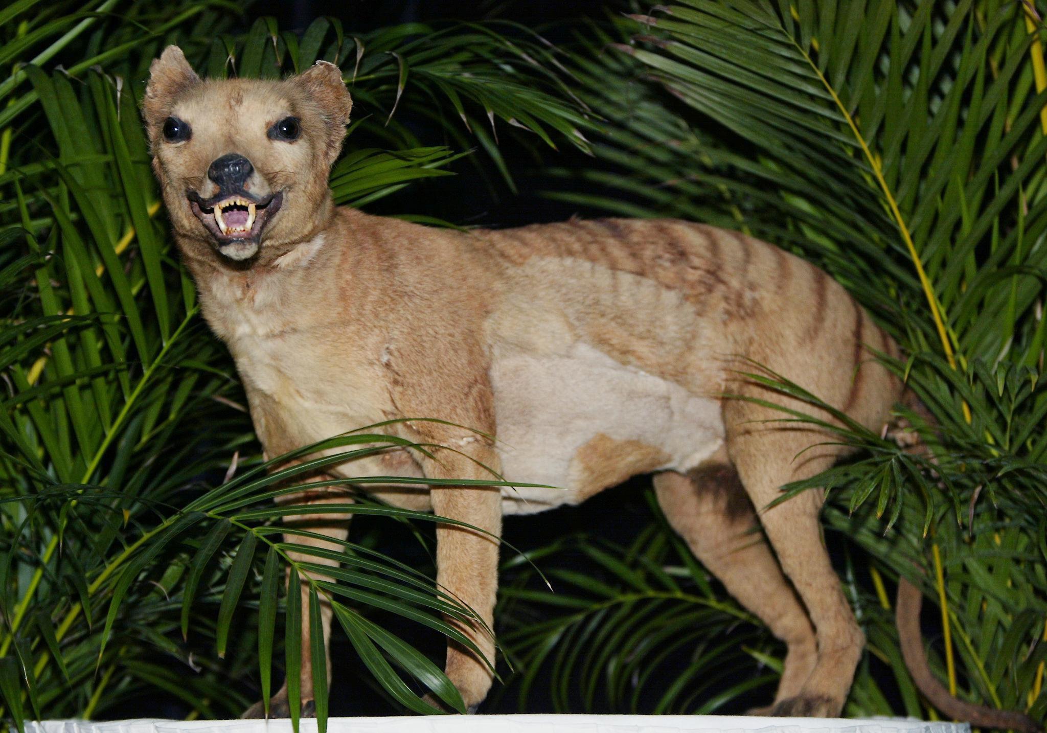 Tigre-da-tasmânia, declarado extinto em 1936, no museu de Austrália, Sydney