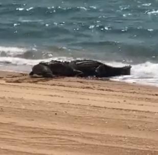 Crocodilo abocanha tartaruga em plena praia na Austrália