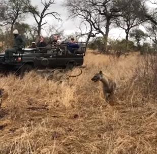 Hiena sem querer acaba salvando javali de leopardo faminto em safári