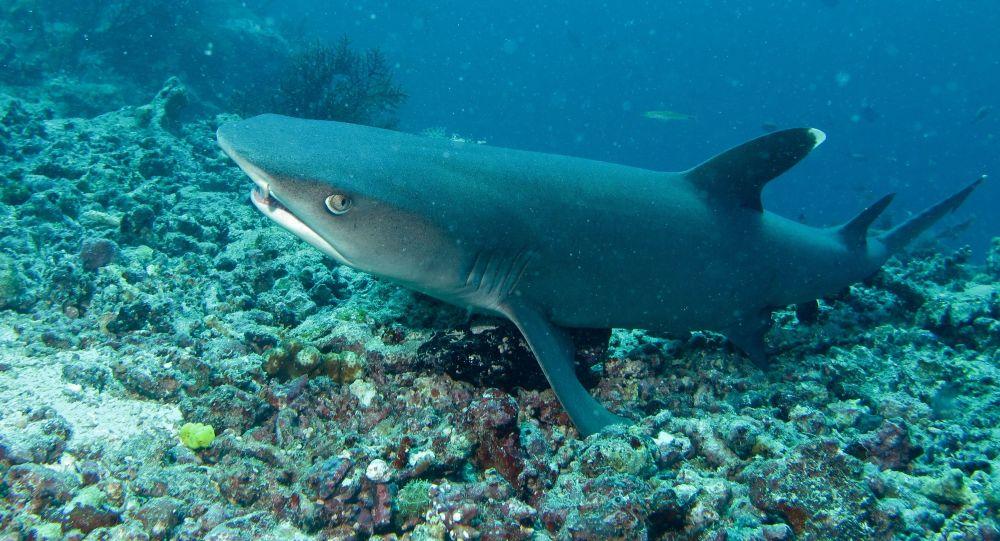 Tubarão-galha-branca (imagem referencial)