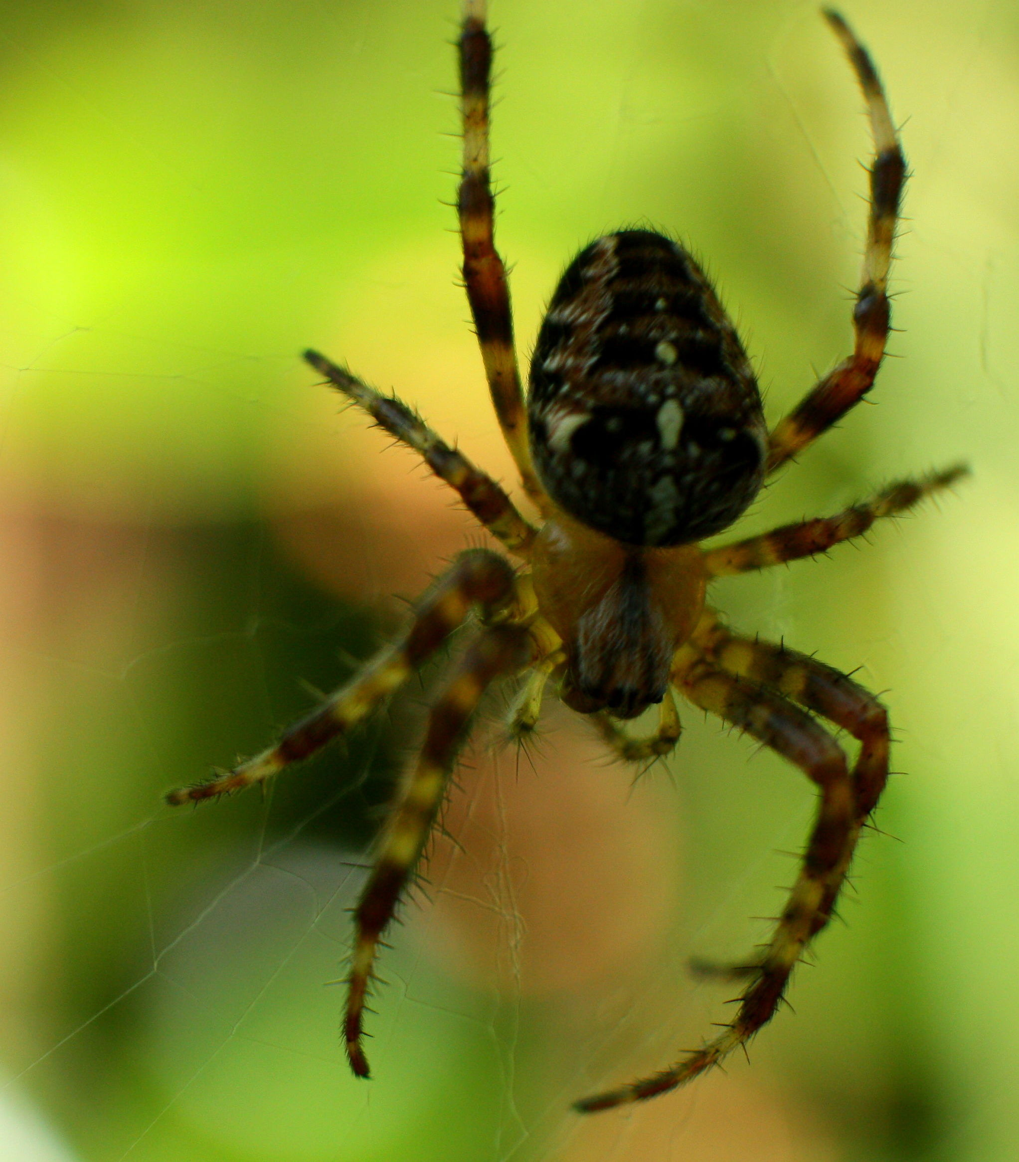 Aranha falsa-viúva-negra se tornou uma praga na Irlanda