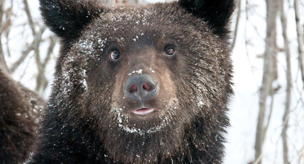 Ursos tem predileção por entrar em carros deixados destrancados nas ruas do Estado do Colorado, nos EUA