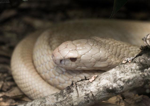 Cobra branca