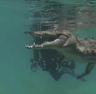 Crocodilo recebe visita e 'abre sorriso elegante' para mergulhador