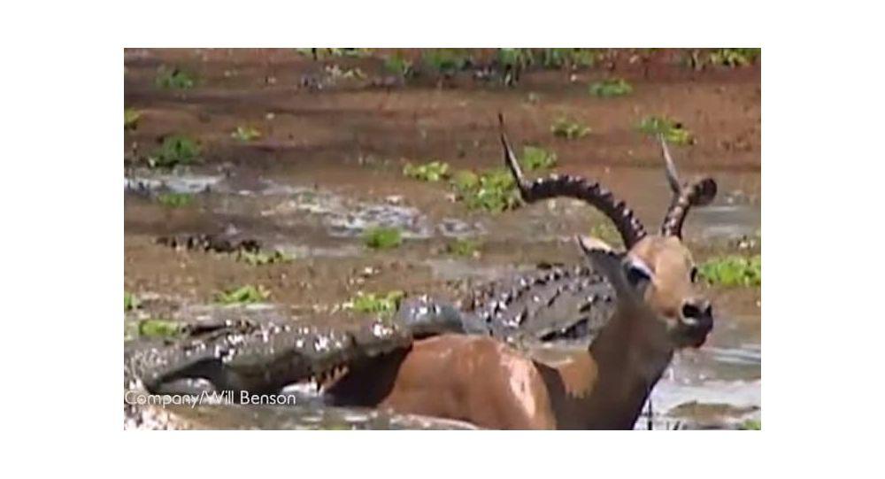 Dia de sorte: impala sai ileso de ataque mortífero de crocodilos