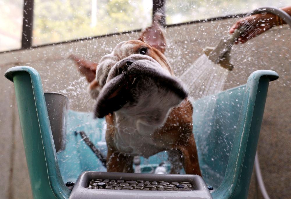 Buldogue inglês Bobo toma banho em um hotel para animais em Singapura