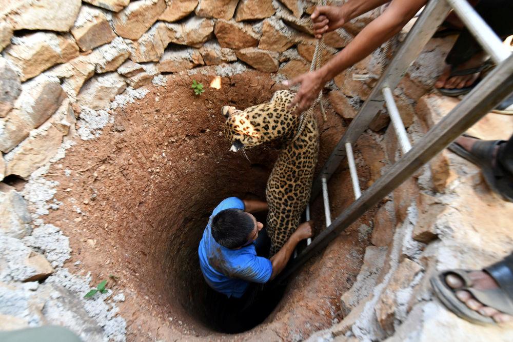 Leopardo sendo resgatado de poço na cidade de Guwahati, Índia
