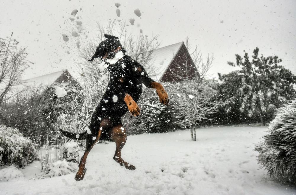 Cachorro brinca com neve em Godewaersvelde, França