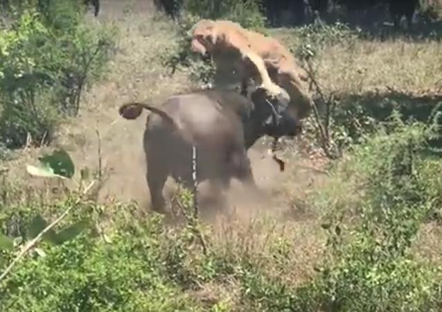Ataque terrífico de búfalo contra leoa