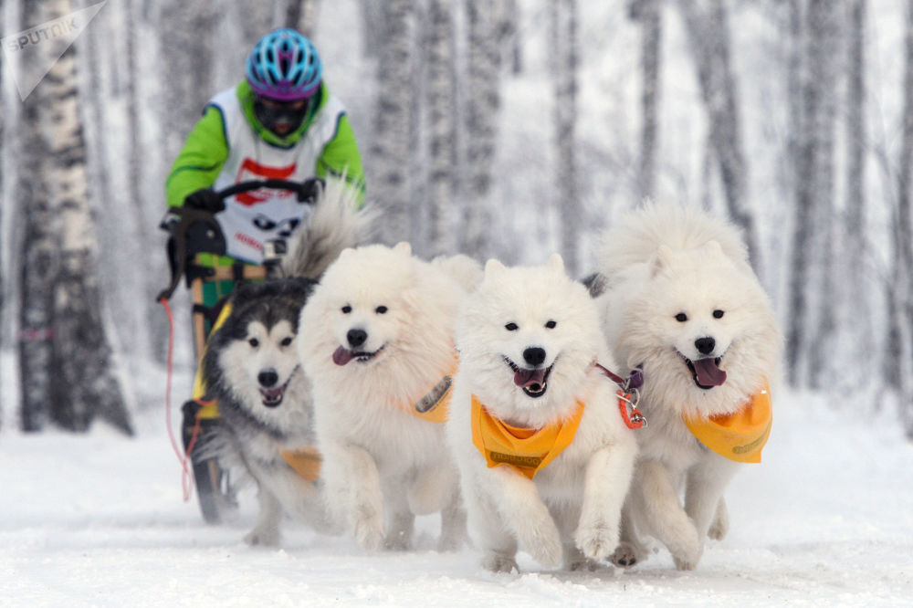 Corrida com cães de trenó na cidade russa de Novosibirsk