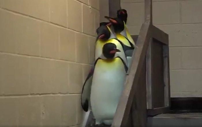 Pinguins abrem caminho para Darth Vader