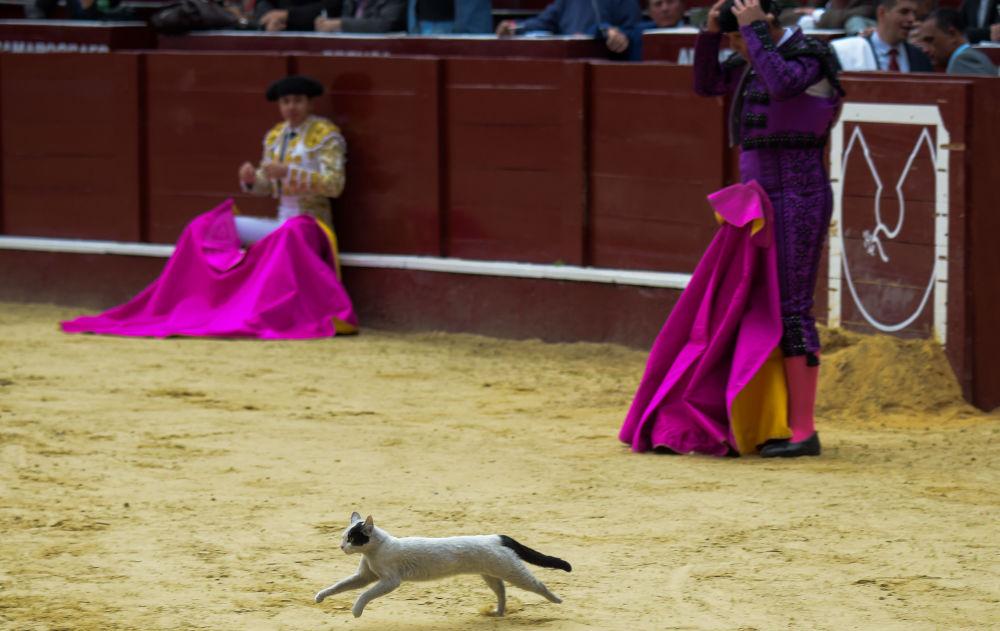 Gato sai à arena durante uma corrida de touros em Bogotá, na Colômbia