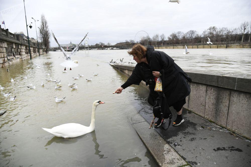 Mulher dá comida a um cisne durante a inundação em Paris, a capital francesa