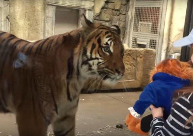 É meu! Tigre enorme tenta 'roubar' brinquedo a criança