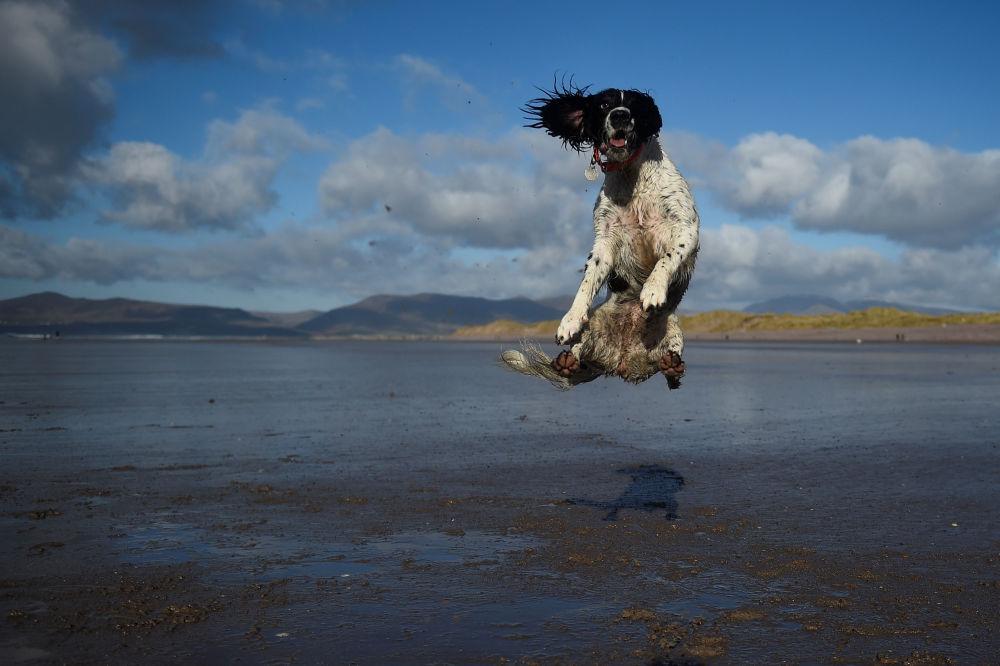 Cachorro apanha bola em umas das praias da Irlanda