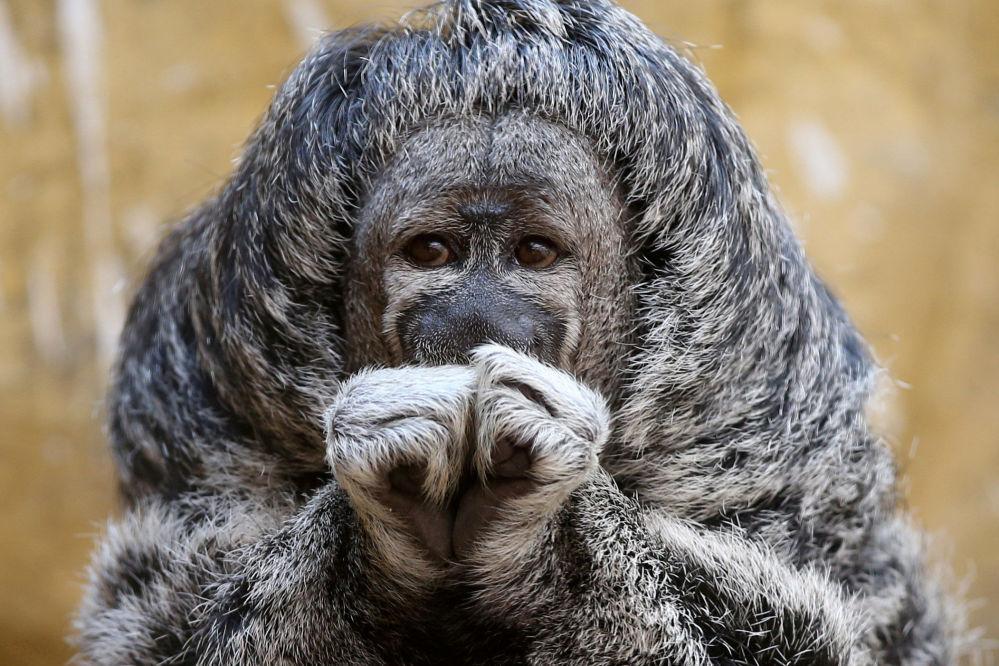 Um macaco do Novo Mundo no zoológico Parque de Las Leyendas, em Lima, no Peru