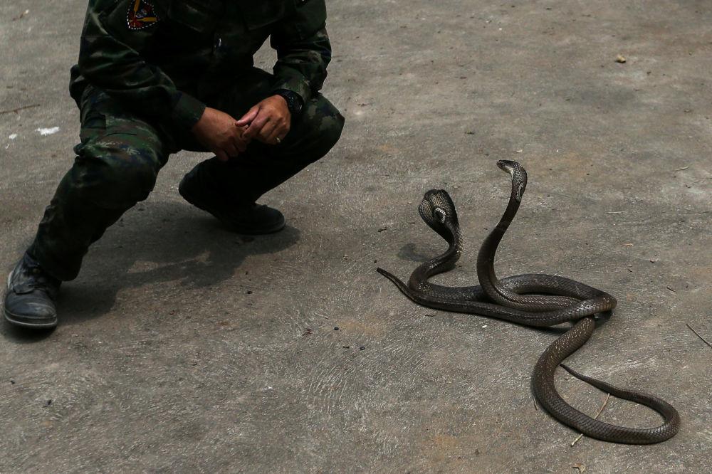 Cobras usadas nas manobras Cobra Gold 2018