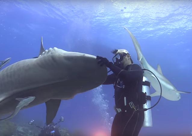 Parceira ideal: mergulhador 'dança' com tubarão de 4 metros