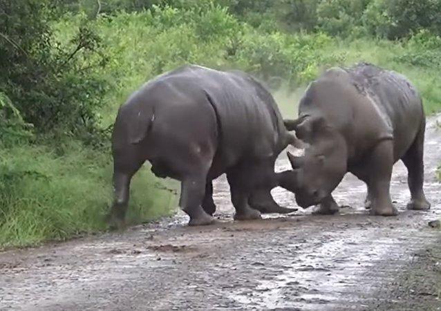 Luta de rinocerontes no parque Hluhluwe–Imfolozi, na África do Sul