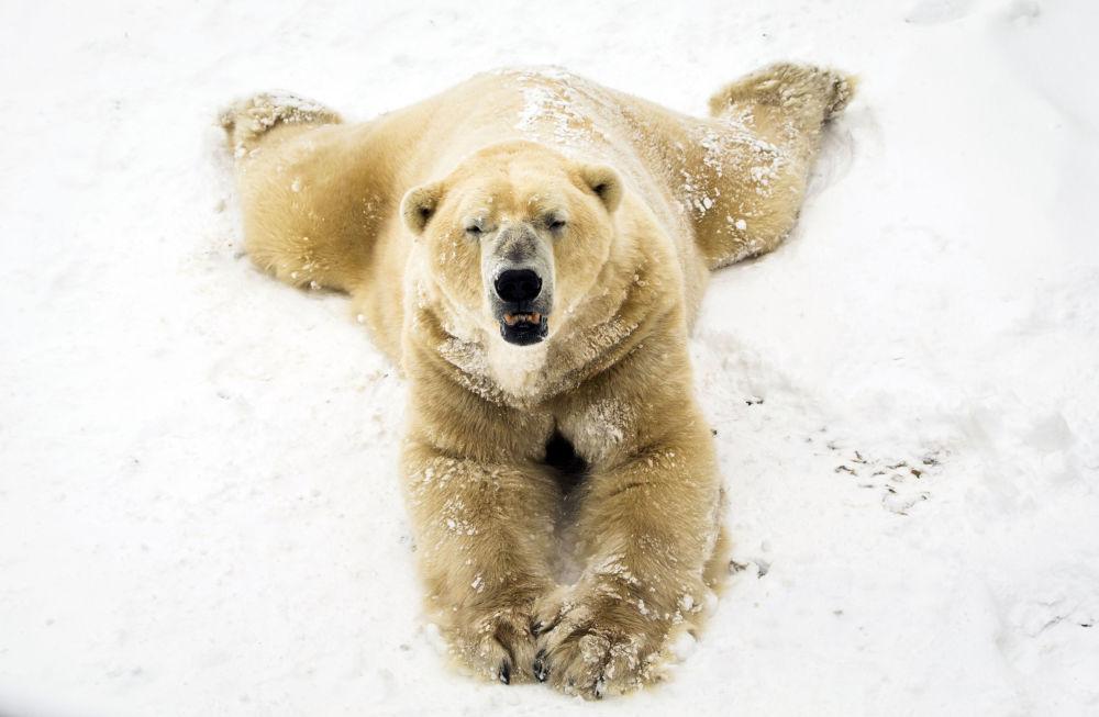 Urso branco brinca com neve no parque Yorkshire Wildlife em Doncaster, Reino Unido