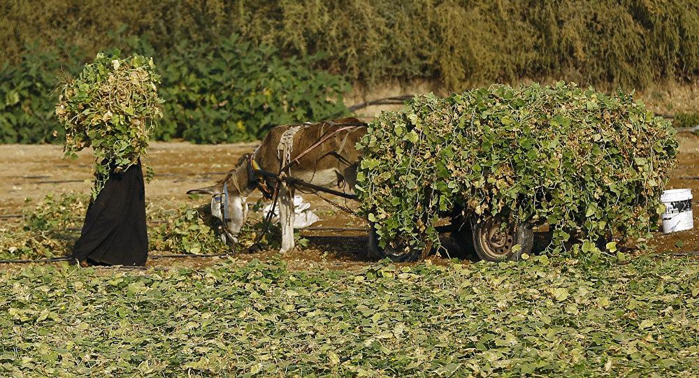 Fazendeiro palestino no campo em Gaza, foto de arquivo