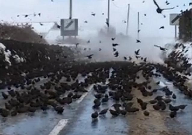 Como em filmes de Hitchcock: milhares de aves ocupam estrada inglesa