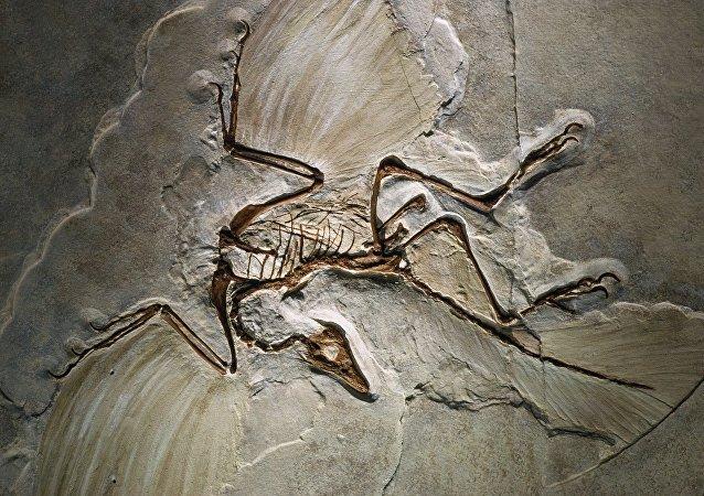 Fóssil do Archaeopteryx, encontrado no sul da Alemanha