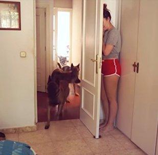 Cachorros tentam encontrar menina escondida atrás da porta