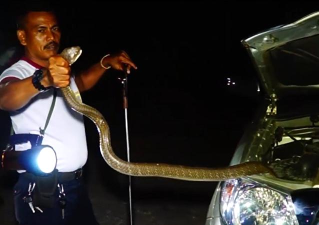 Novo acessório de automóvel na Tailândia: cobra gigantesca se esconde no carro