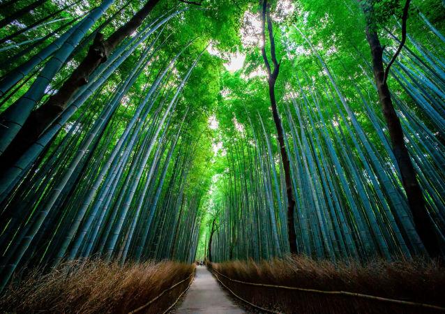 Floresta Sagano de Bamboo fica na cidade japonesa de Quioto. Visitantes afirmam que o som que a floresta emite é um pouco parecido com música, produzindo um efeito calmante e envolvendo com uma sensação de harmonia